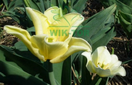 Tulipan YELLOW CROWN